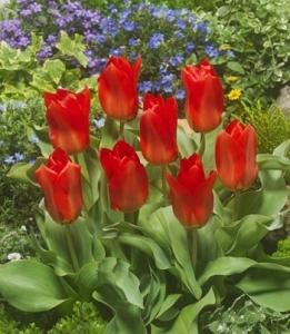 Tulipa Fosteriana Princeps