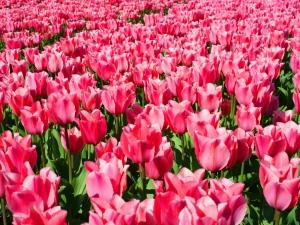 Tulipa Fosteriana Albert Heijn