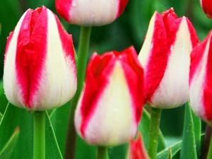 Tulipa Triumph Alectric