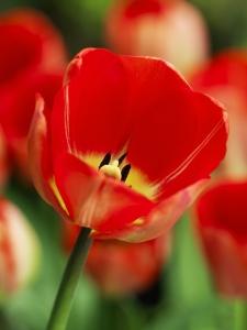 Tulipa Darwin Hybride Big Chief