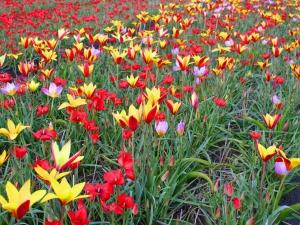 Tulipa Botanical Mixed