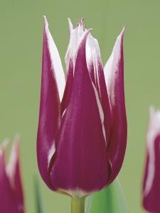 Tulipa Lilyflowering Claudia