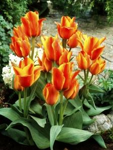 Tulipa Multflowering Compostella