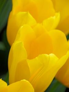 Tulipa Darwin Hybride Conqueror