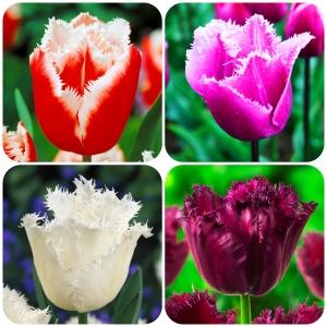 Tulipa Extravagant Collection