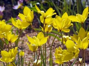 Tulipa Botanical Florentina Odorata (Sylvestris)