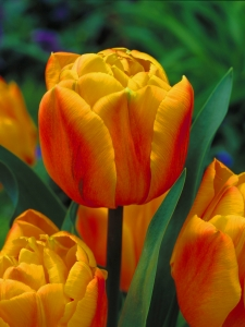 Tulipa double late Freeman