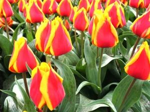 Tulipa Greigii German Flag