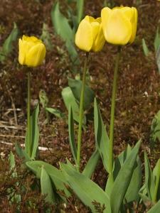 Tulipa Darwin Hybride Golden Apeldoorn