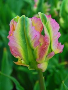 Tulipa Parrot Green Wave