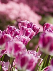 Tulipa Triumph Hotpants