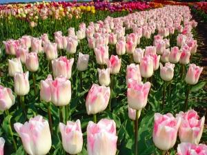 Tulipa Triumph Kyoko Takahasi