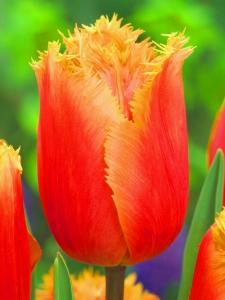 Tulipa Firework Collection