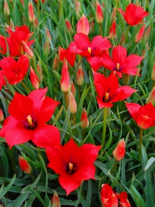 Tulipa Botanical Linifolia