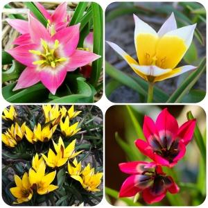 Tulipa Little Fellow Collection
