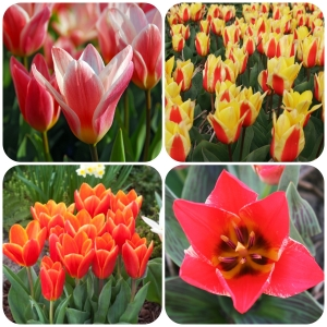 Tulipa Love Collection