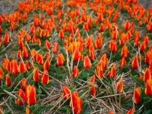 Tulipa Greigii Obelisk