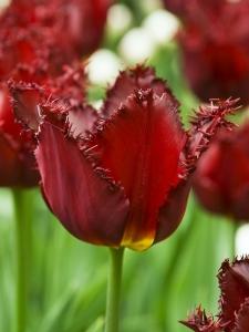 Tulipa Fringed Pacific Pearl