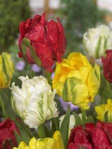 Tulipa Parrot Mixed