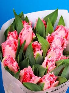 Tulipa Fringed Pink Heaven