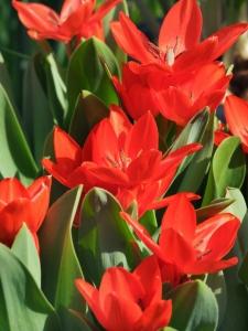 Tulipa Botanical Praestans Fusilier