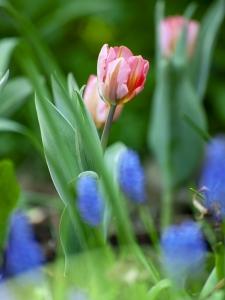 Tulipa Triumph Pretty Princess