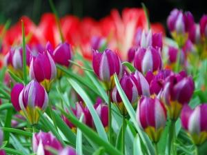 Tulipa Botanical Pulchella Humilis