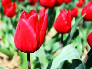 Tulipa Triumph Red Rover