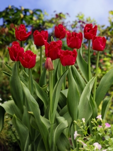 Tulipa Fringed Red Wing