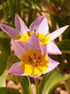 Tulipa Botanical Saxatilis