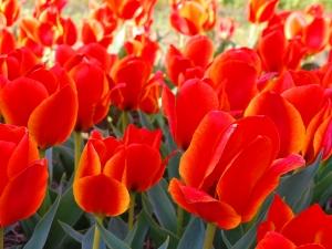 Tulipa Greigii Treasure