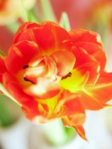 Tulipa double early Viking